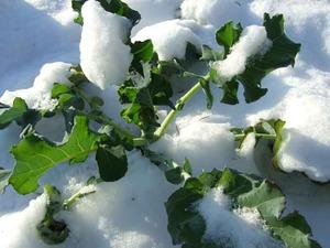 snow-bound-leafy-greens