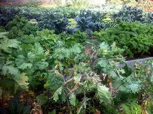 Farm_3 Kale