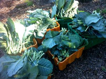 Farm_More Kale 4